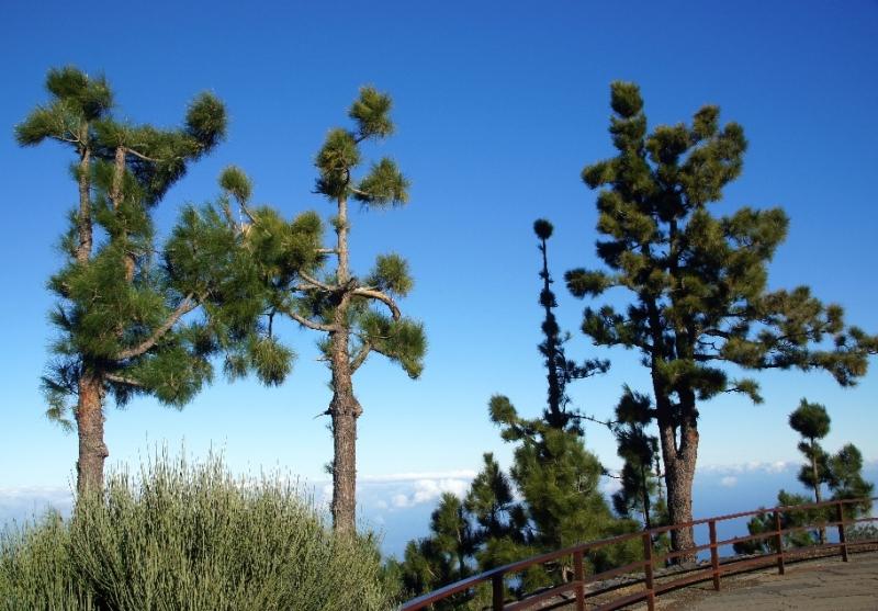 Auf dem Weg zum Teide sahen wir am Straßenrand viele dieser Bäume, die eher mager aussahen.