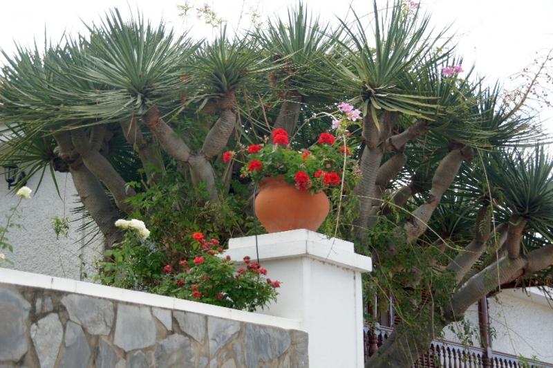 Hier eine kleine Variante Drachenbaum. Einer der bekanntesten Drachenbäume wächst in Icod de los Vinos auf Teneriffa und wird oft als 1000-jähriger Drachenbaum bezeichnet.